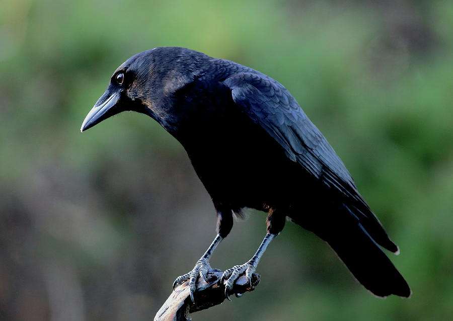 American Crow In Thought by Daniel Reed