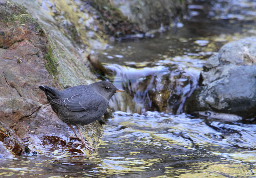 Dipper Photograph - American Dipper by Angie Vogel