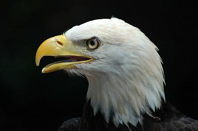 Eagle Photograph - American Eagle by Bruce Larson