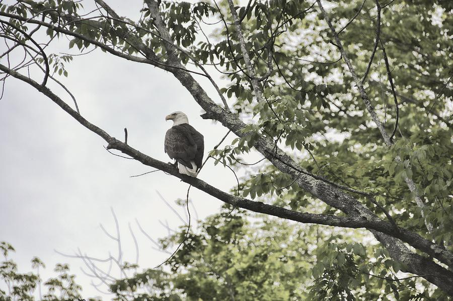 Bald Photograph - American Eagle by JAMART Photography