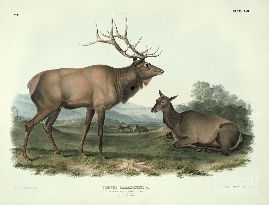 Cervus Canadensis (american Elk Painting - American Elk by John James Audubon