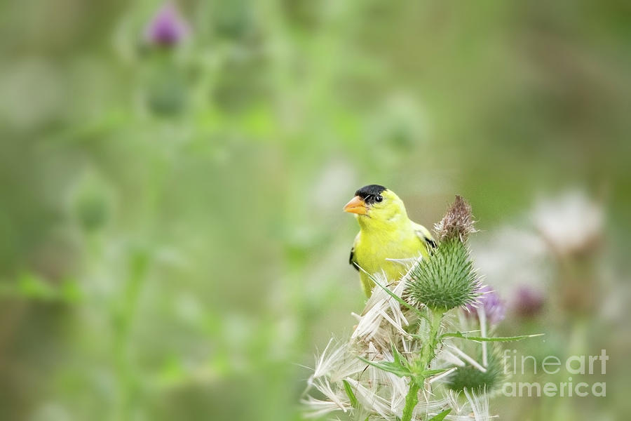 American Finch Having Afternoon Snack Photograph