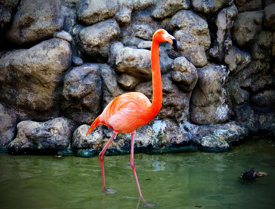 Flamingo Photograph - American Flamingo by Cynthia Guinn