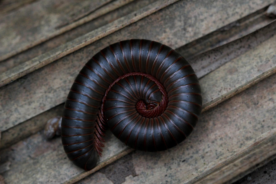Millipede Photograph - American Giant Millipede by April Wietrecki Green