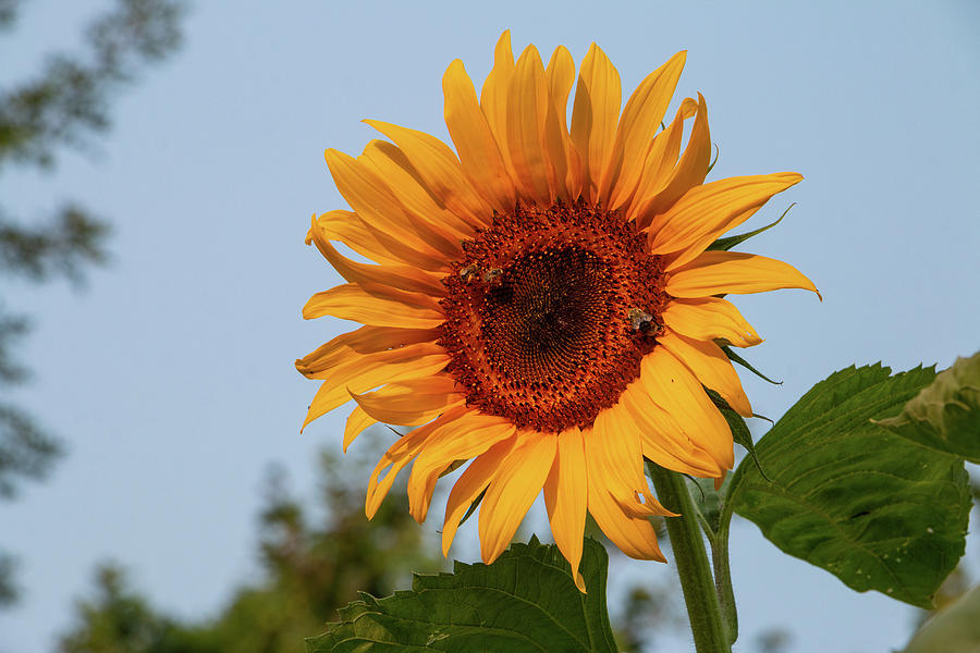 Sunflower Photograph - American Giant Sunflower in the Morning by Jeff Severson