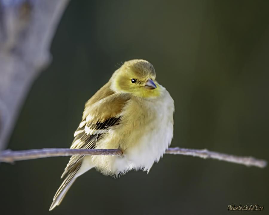 American Goldfinch Photograph - American Gold Finch by LeeAnn McLaneGoetz McLaneGoetzStudioLLCcom