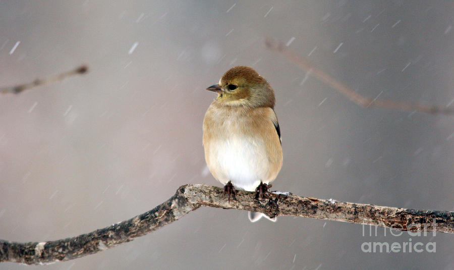 American Goldfinch 4 by Jamie  Smith