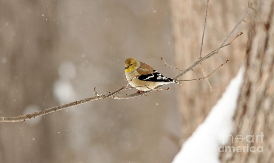 American Goldfinch 6 by Jamie  Smith