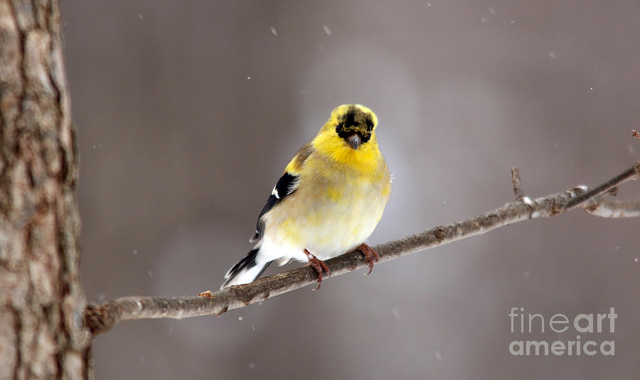 American Goldfinch 7 by Jamie  Smith