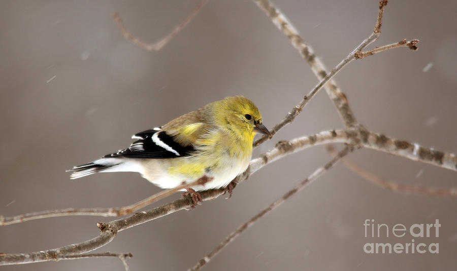 American Goldfinch 8  by Jamie  Smith