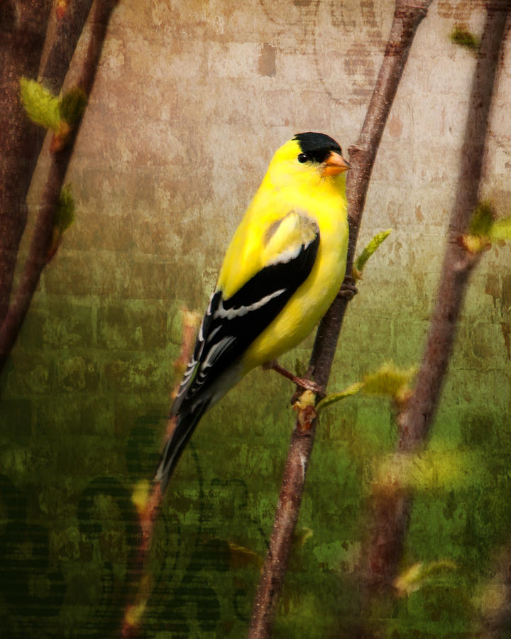 American Goldfinch Photograph - American Goldfinch by Al  Mueller