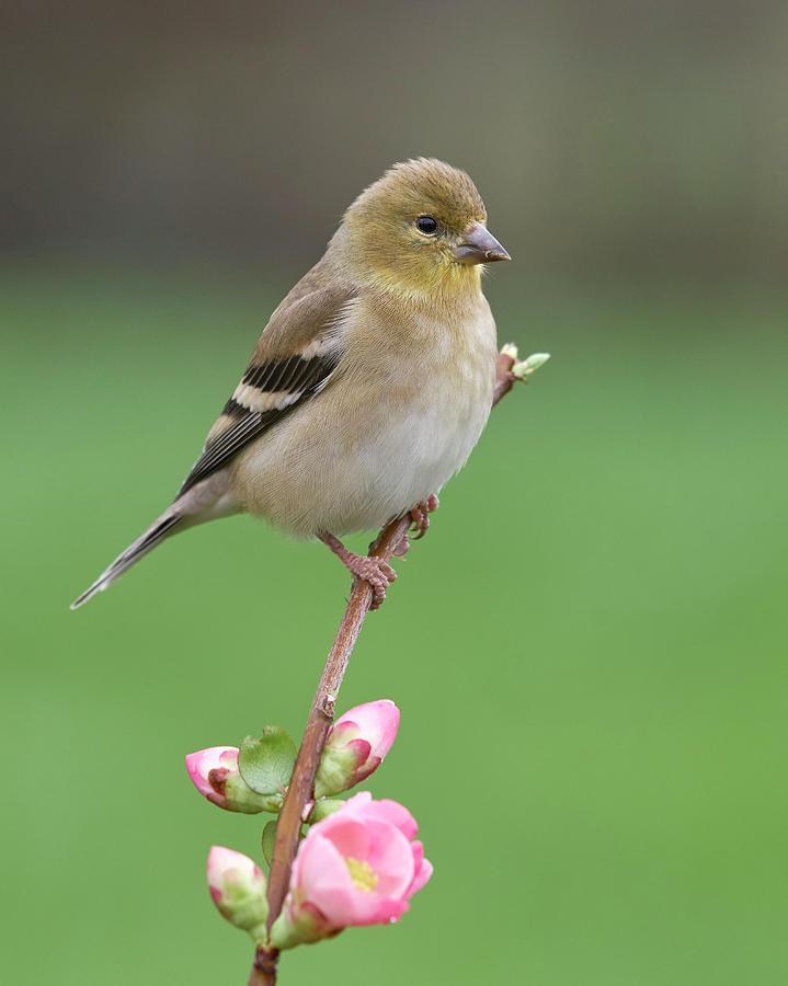 Birds Photograph - American Goldfinch by Doug Herr