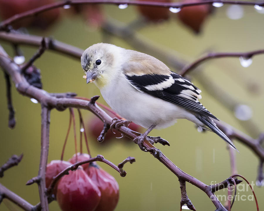 Canon Photograph - American Goldfinch in The Rain by Ricky L Jones
