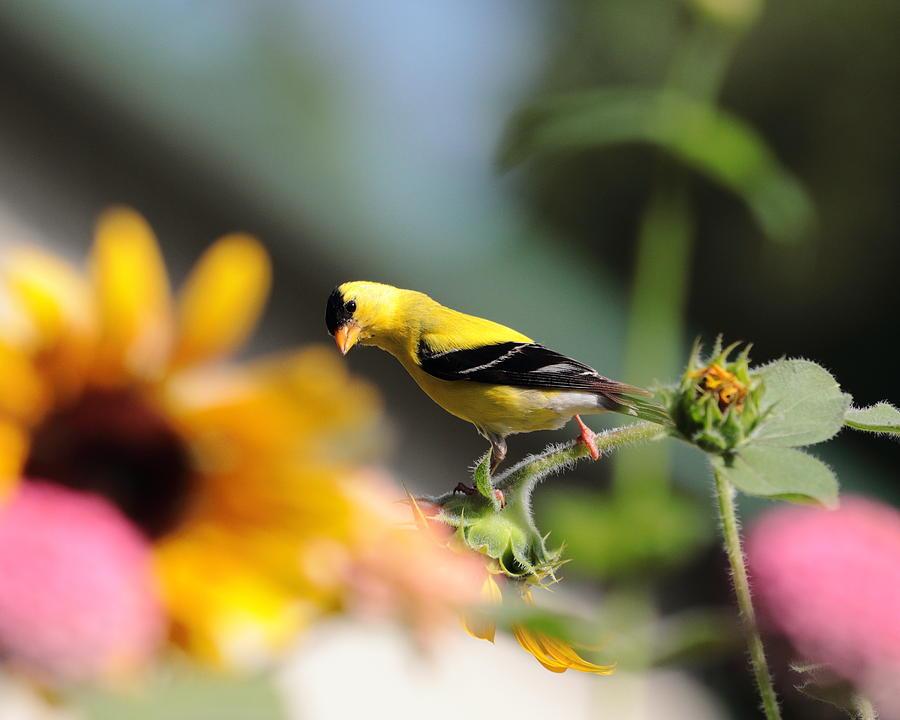 American Goldfinch by John Moyer