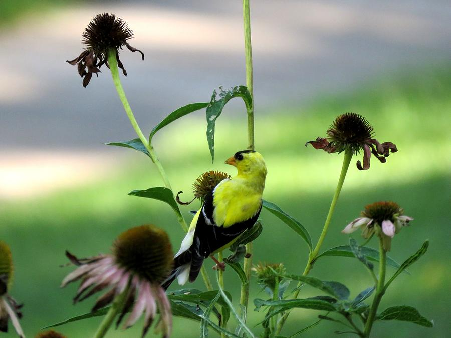 Bird Photograph - American Goldfinch by Keith Stokes