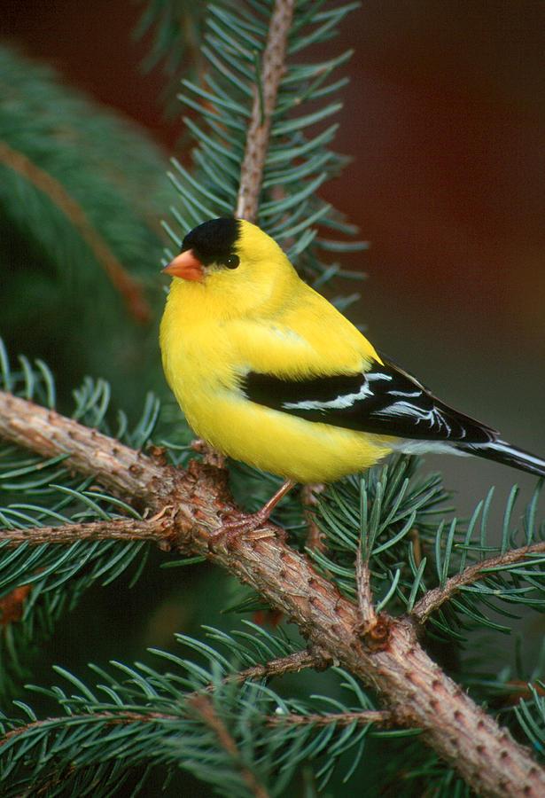 Bird Photograph - American Goldfinch by Raju Alagawadi