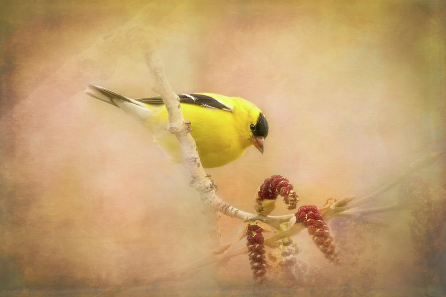 American Goldfinch by Vicki Stansbury