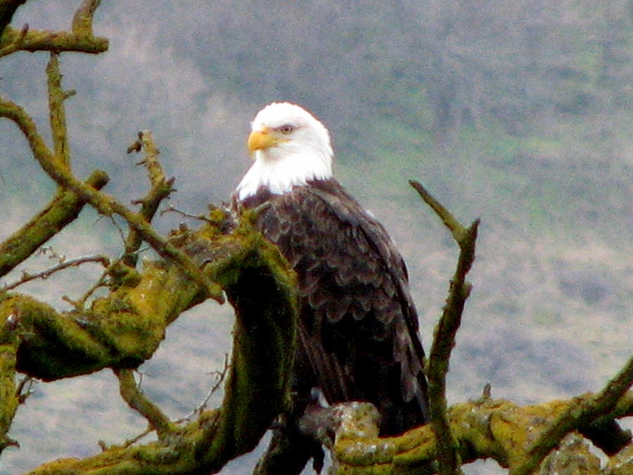 Bald Eagle Photograph - American Idol by Athena Ellis