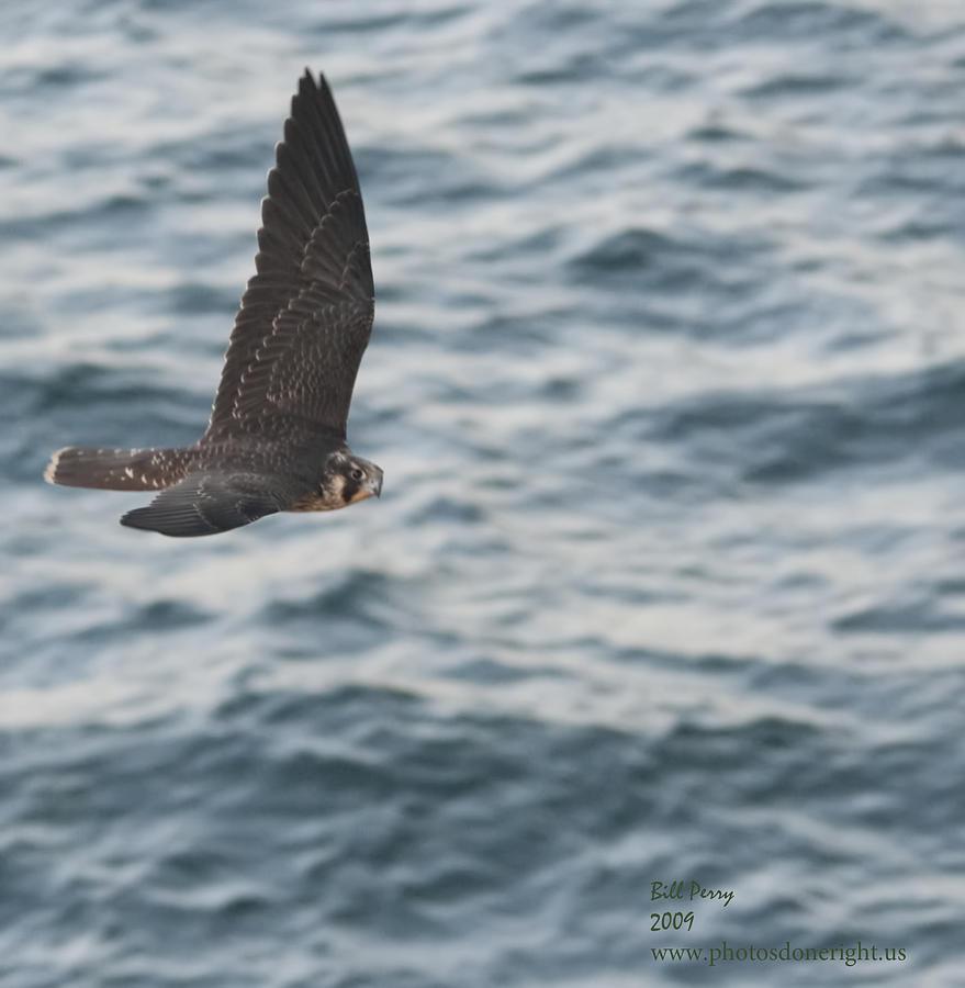 Hawk Photograph - American Kestrel 2 by Bill Perry