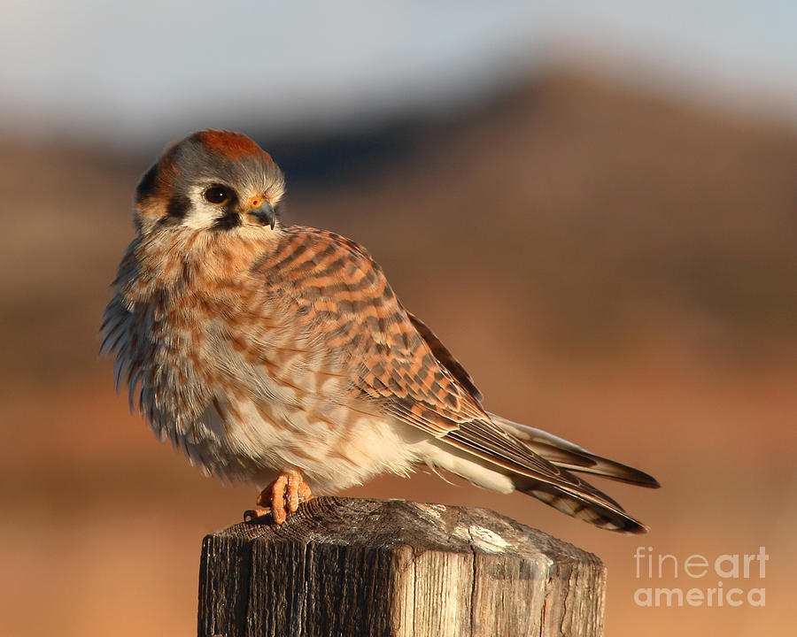 Kestrel Photograph - American Kestrel Giving Hunting Stare by Max Allen
