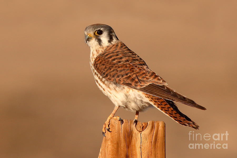 Kestrel Photograph - American Kestrel Surveying The Surroundings by Max Allen