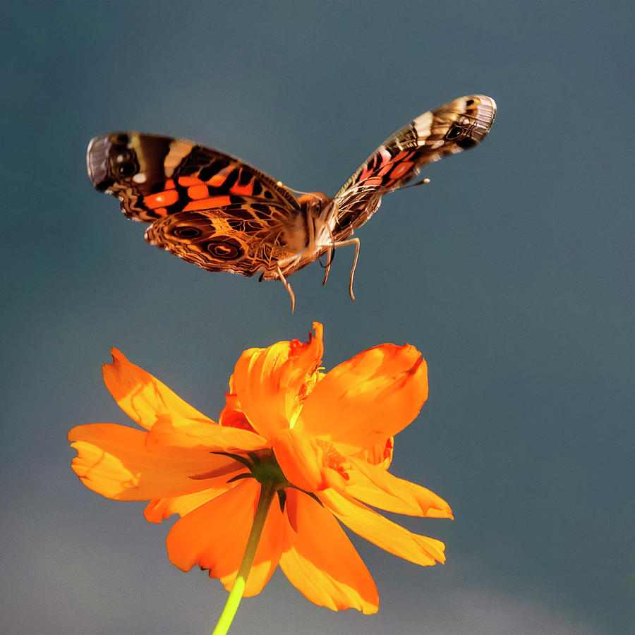 American Lady Photograph - American Lady Butterfly Lands On Cosmos Flower by Steve Samples