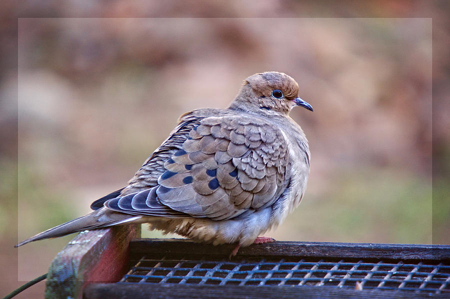 Wings Photograph - American Mourning Dove by Robert L Jackson