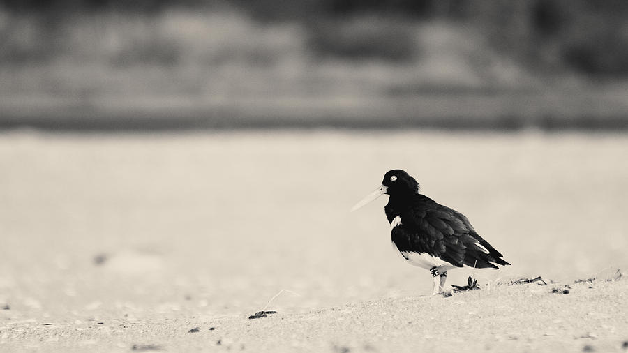 2015 Photograph - American Oystercatcher Bw by Nathaniel Kidd