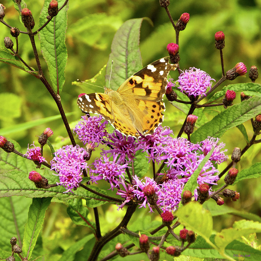 American Painted Lady Butterfly by Kristin Hatt