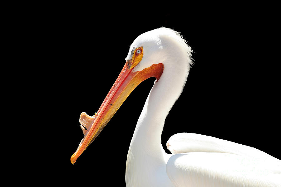 American White Pelican Photograph - American Pelican by Jeannie Burleson