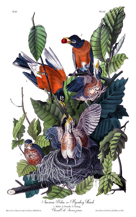 American Robin Painting - American Robin Audubon Birds Of America 1st Edition 1840 Octavo Plate 142 by Orchard Arts