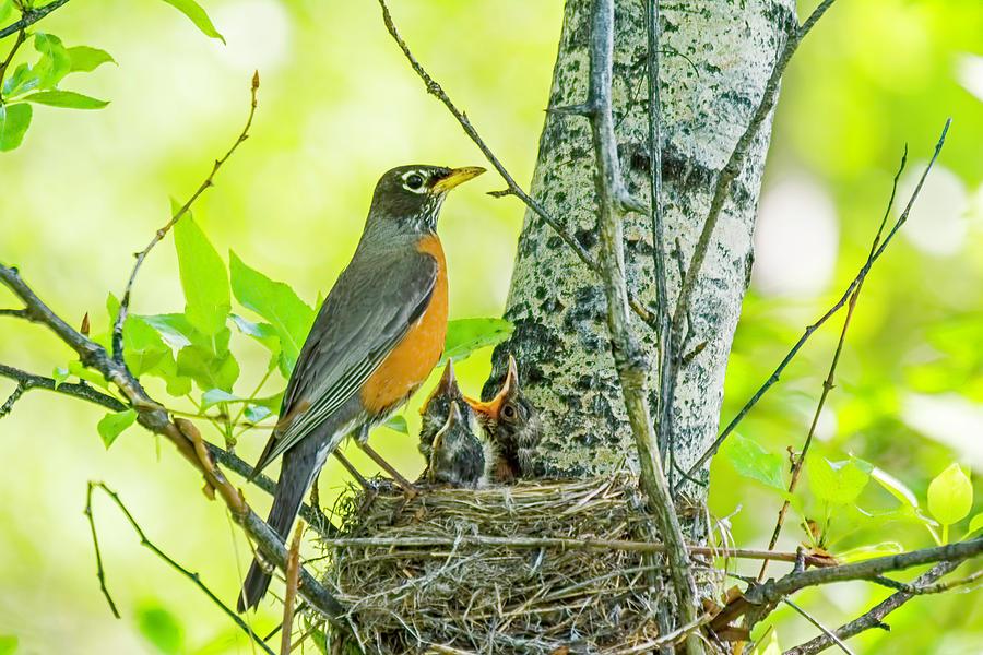American Robin Feeding Chicks by Gary Beeler