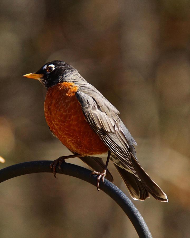 American Robin Photograph - American Robin by Robert L Jackson
