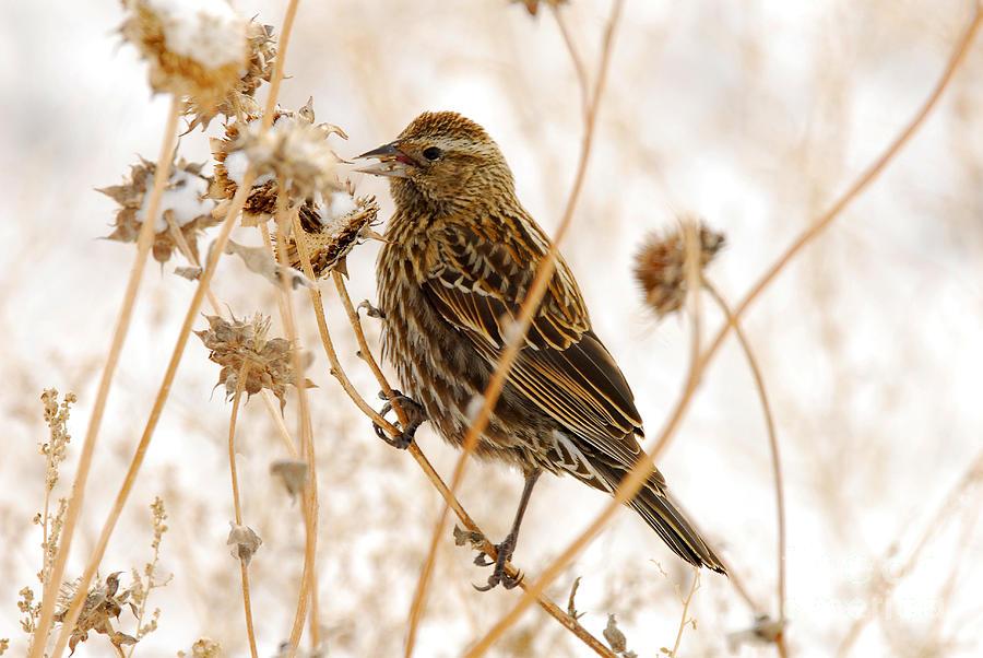 Bird Photograph - American Sparrow by Dennis Hammer