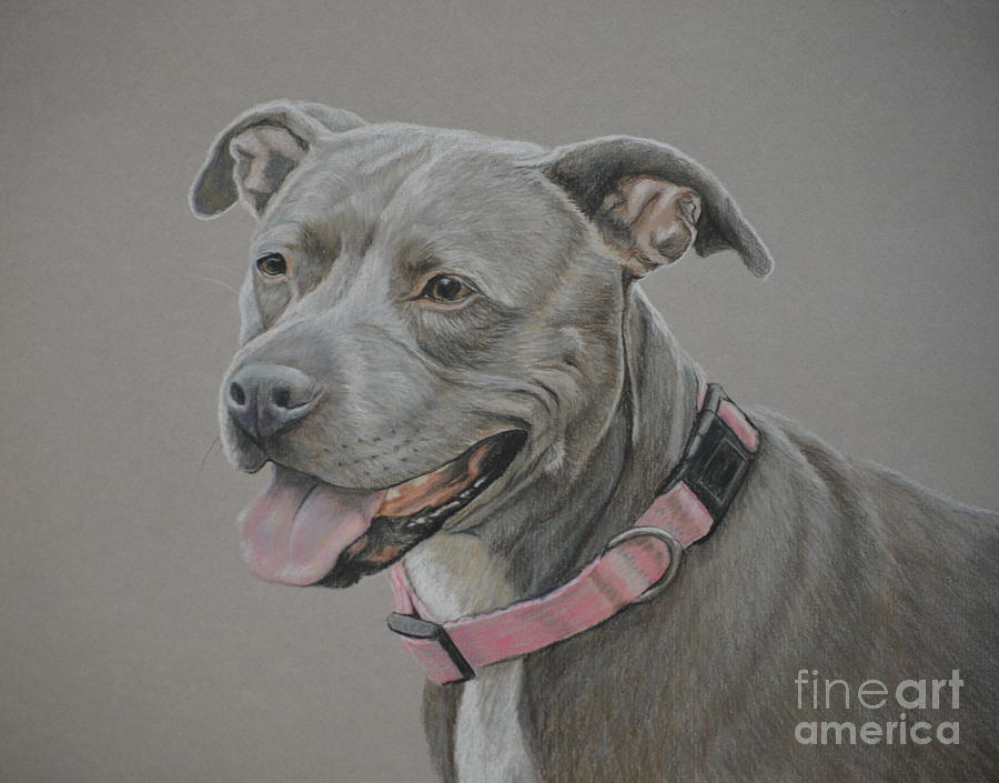 Pet Portrait Drawing - American Staffordshire Terrier by Charlotte Yealey