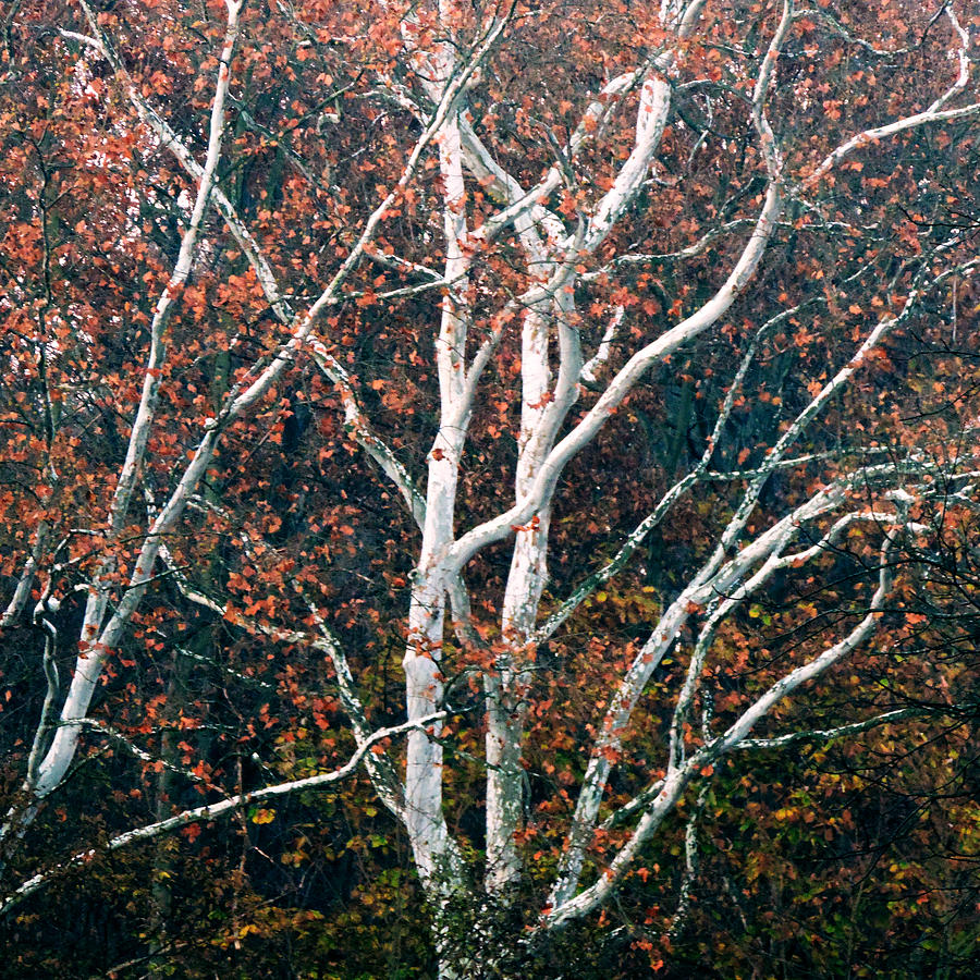 American Photograph - American Sycamore # 2 by Jacob Cane