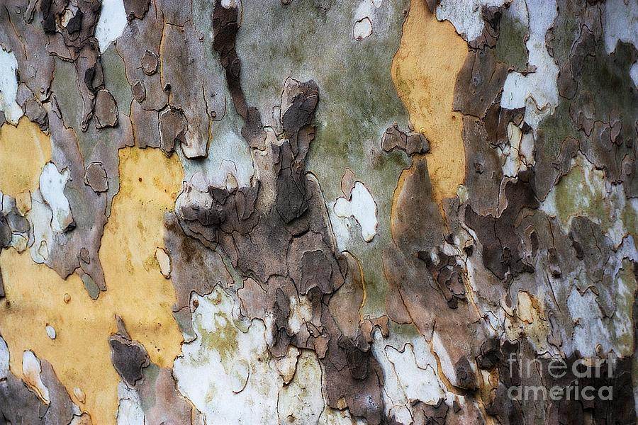 Tree Photograph - American Sycamore Bark by Patti Whitten