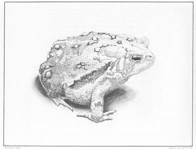 Toad Drawing - American Toad by Roald Keith