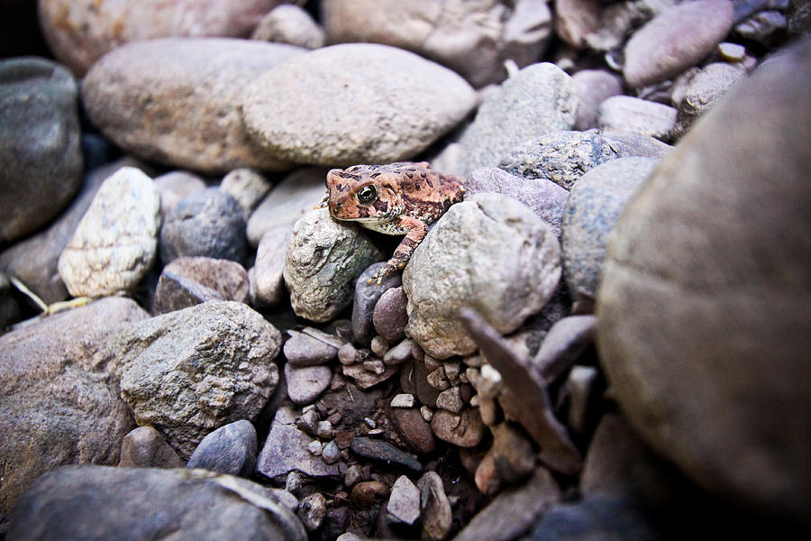 Canon Photograph - American Toad by Ryan Kelly