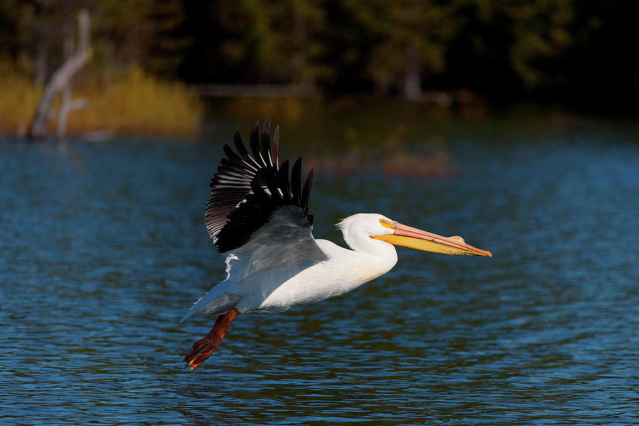 American White Pelican by Andrew Kumler