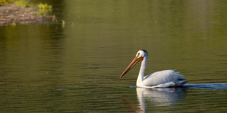 Pelican Photograph - American White Pelican by Chad Davis