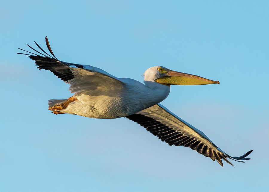 Birdwatching Photograph - American White Pelican by Don Miller