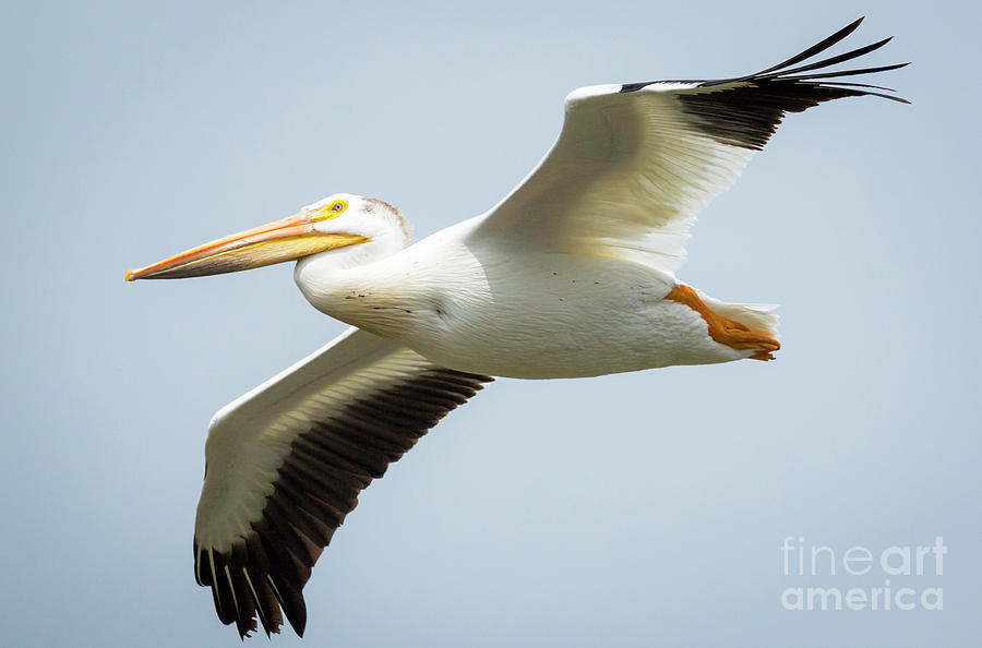 Canon Photograph -  American White Pelican Flyby  by Ricky L Jones