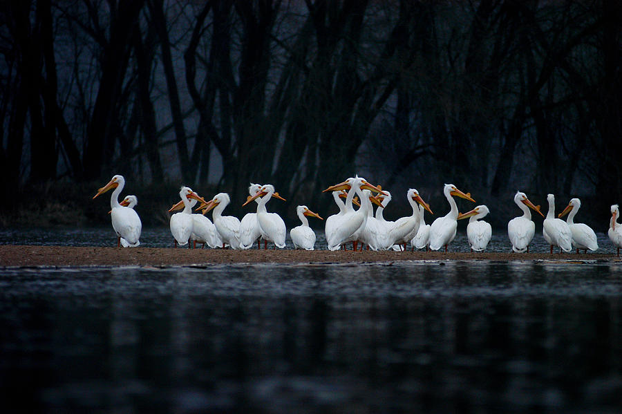 Nature Photograph - American White Pelican by Jane Melgaard