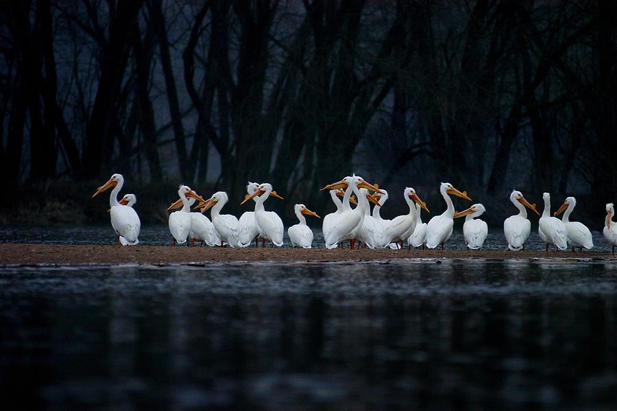 American White Pelican by Jane Melgaard