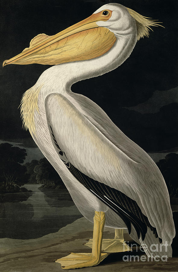 American White Pelican Painting - American White Pelican by John James Audubon