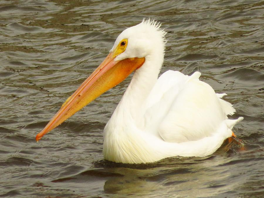 Pelicans Photograph - American White Pelican by Lori Frisch