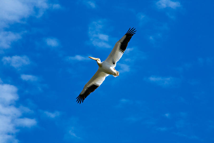 American Photograph - American White Pelican by Marilyn Hunt