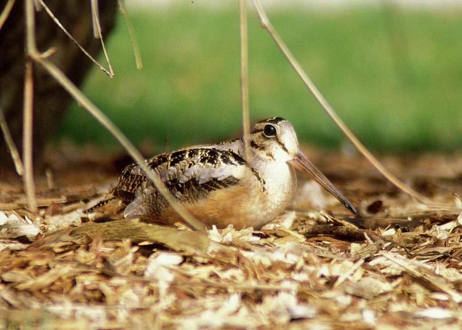 Wildlife Photograph - American Woodcock by John Burk