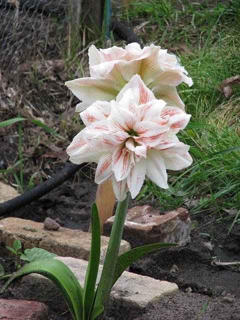 Flower Photograph - Ameryllis by John Houseman